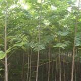 10公分的千头椿的价格  千头椿树苗价格 河北千头椿基地
