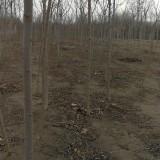 3公分火炬树价格 河北火炬树苗木基地批发