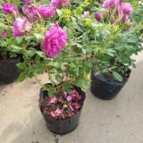 玫瑰花苗批发 40-60公分玫瑰苗价格