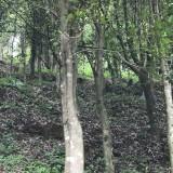 广东天然虫漏沉香树价格 沉香树种植基地
