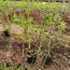 牡丹苗多少钱一棵  苗圃供应牡丹苗