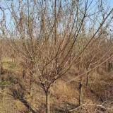 一年生红梅小苗价格 基地5~8公分红梅价格