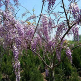 紫藤苗多少钱一棵 80-1米高紫藤价格