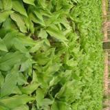 玉簪苗子哪里有 30公分玉簪苗多少钱