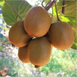 猕猴桃树苗价格表行情   猕猴桃树苗基地