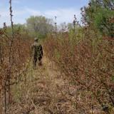 光辉海棠种植  4-5公分光辉海棠树价格  光辉海棠行情