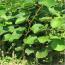 猕猴桃树苗供应  猕猴桃树苗直销