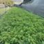 一年生清香木杯苗 15公分清香木 福建清香木价格