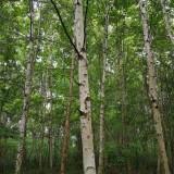 吉林白桦树种植   白桦树基地批发  白桦树价格