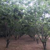 5公分板栗树价格 6公分板栗树什么价位