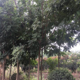 3公分北京栾树价格 4公分北京栾树多少钱