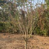 1米丁香树价格 江苏丁香树苗多少钱