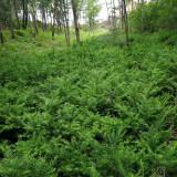 东北红豆杉小苗多少钱一棵 东北哪里有红豆杉小苗