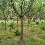 江苏流苏树基地 7公分流苏树价格多少钱一棵