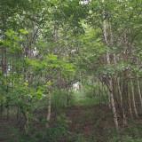 吉林省哪里有白桦树 白桦树苗价格