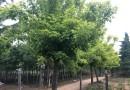 江苏金叶复叶槭基地 5-8公分金叶复叶槭价格多少钱一棵
