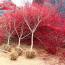 红枫苗价格 80-1米红枫苗多少钱一棵