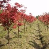 5公分日本红枫价格多少钱 日本红枫树苗价格表