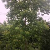 乌桕树基地批发   乌桕树多少钱一棵