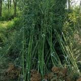 一年生早园竹 3公分早园竹 哪里有早园竹小苗