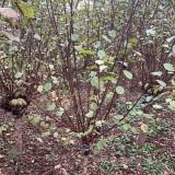 榆叶梅小苗 3-5公分榆叶梅 江苏榆叶梅基地