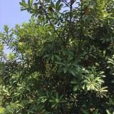 杨梅树多少钱一棵  杨梅树批发价格