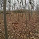 8公分栾树价格多少钱 8公分栾树产地报价