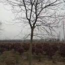 12公分榉树多少钱一棵 江苏12公分榉树价格