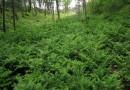 红豆杉小苗多少钱一棵 红豆杉小苗价格