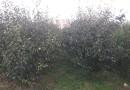 3公分4公分5公分梨树价格   梨树基地直销