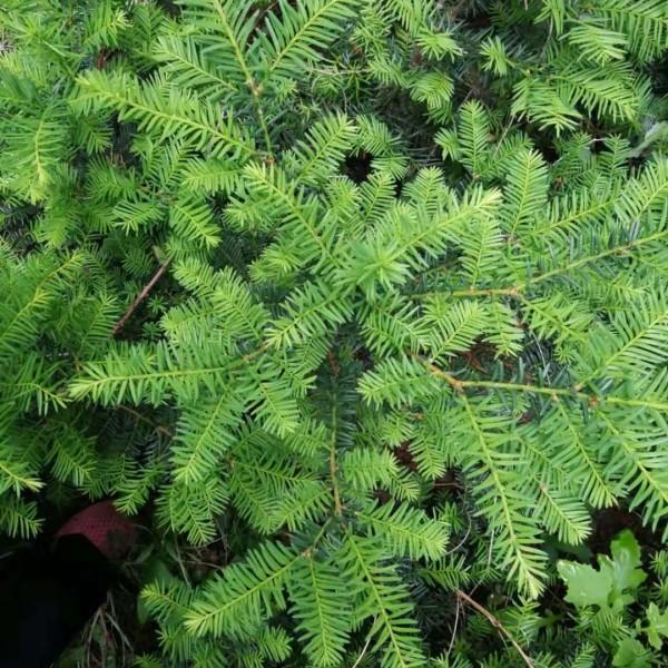 红豆杉苗批发 2公分红豆杉价格 东北红豆杉苗木基地