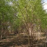 白桦批发价格  吉林白桦种植基地
