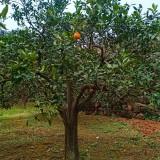橙子树多少钱一棵 橙子树批发价格