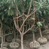 枇杷树价格   基地供应5公分6公分枇杷树