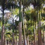 大王椰子 大王椰子价格 双景基地销售 棕榈植物