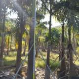 十米大王椰子报价 大王椰子价格 双景园艺种植出售