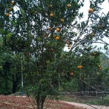 橘子树苗多少钱一颗  成都橘子树苗基地