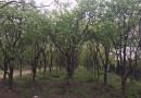 15公分柿子树多少钱一棵 江苏柿子树产地直销