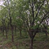 柿子树批发价格 14公分柿子树哪里有货