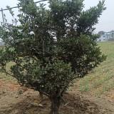 橙子树批发价格 地径8-12公分橙子树苗价格
