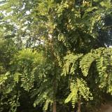 江苏香花槐基地 10-12公分香花槐多少钱一棵