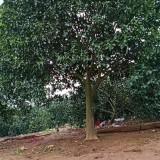 哪里有香泡树苗卖 15公分香泡树批发出售