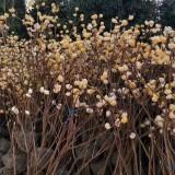 结香树多少钱一棵 高度1米结香树树苗价格
