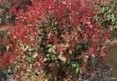 福建哪里有卖红叶石楠 红叶石楠杯苗价格
