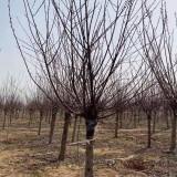 地栽榆叶梅 江苏5公分榆叶梅 榆叶梅树苗价格