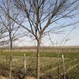8公分榉树上车价是多少 江苏榉树价格多少钱一棵