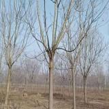精品栾树苗 基地10-15公分栾树多少钱一棵