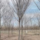 12公分榉树哪里有 12公分榉树多少钱一棵