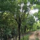 蓝花楹袋苗移植 熟货20公分25公分28公分
