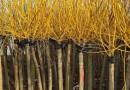 江苏黄金槐苗种植基地批发 8公分黄金槐价格